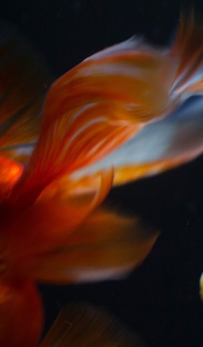 goldfish flash